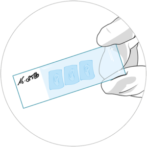 Illustration of HistoSkin® skin tissue slide