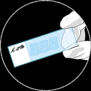 Illustration of HistoSkin® skin tissue slide