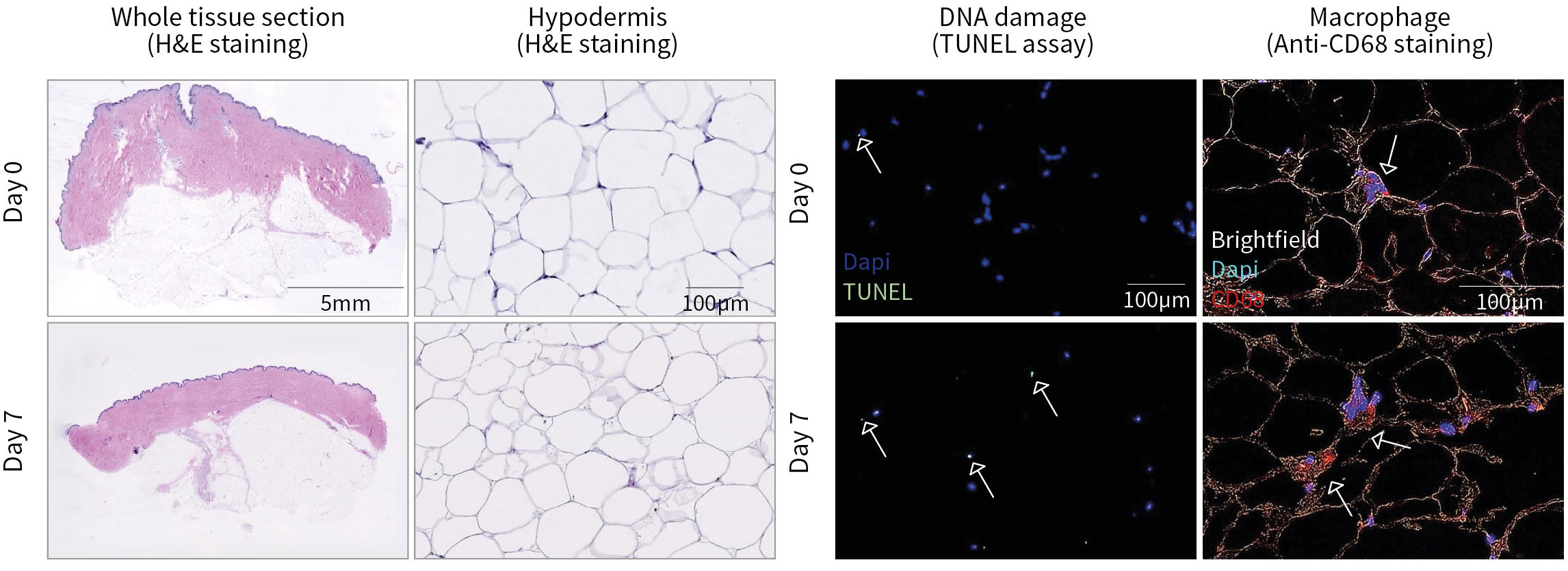 Histological characterization of HypoSkin® model following production & after 7 days of ex vivo culture.