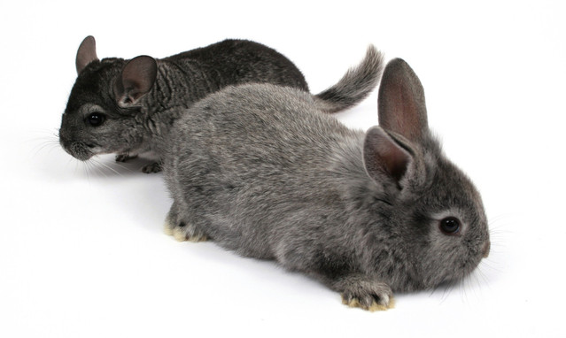 Illustrating: Illinois to ban cosmetics tests on animals. Grey bunny and chinchilla