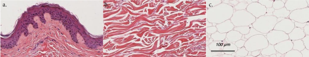 Histology pictures of HypoSkin® layers: epidermis, dermis and hypodermis