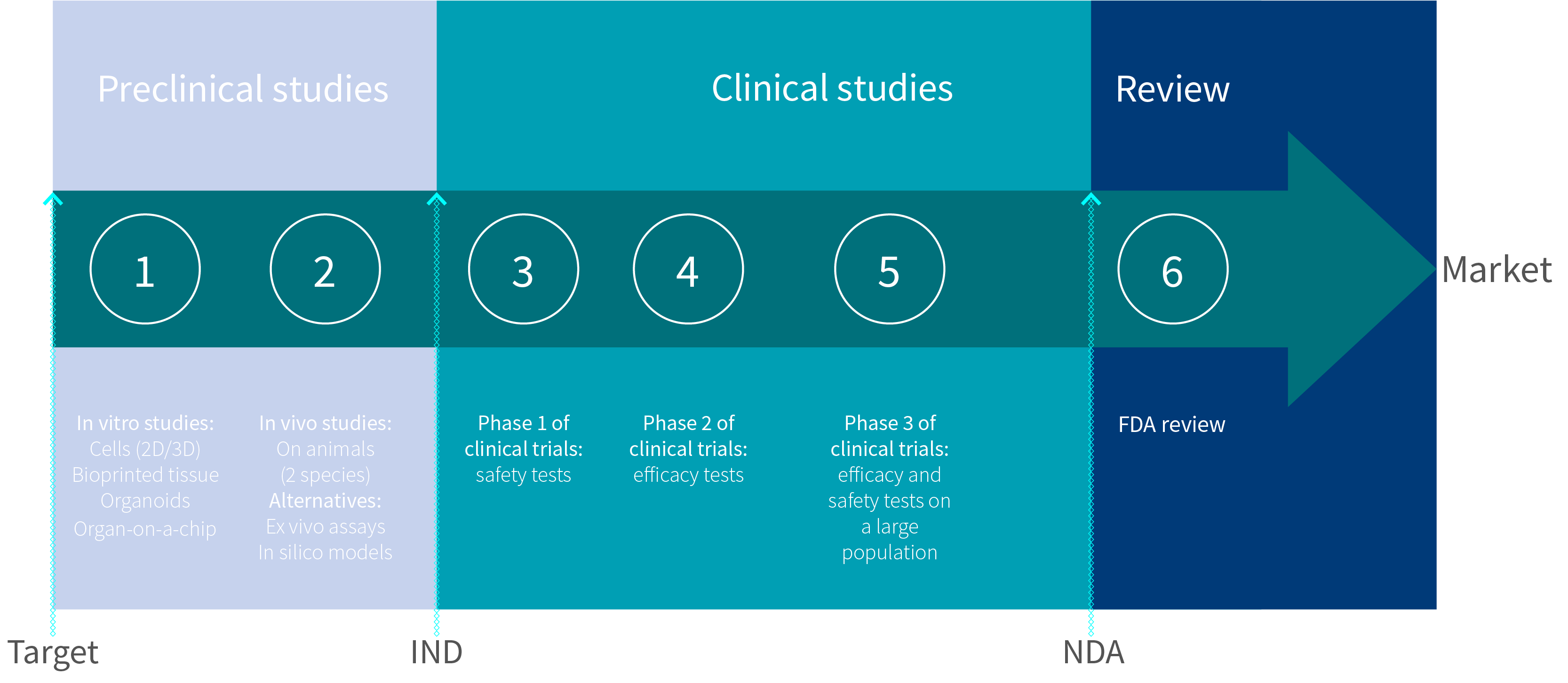 Scheme showing the timeline for a new drug development, for FDA approval